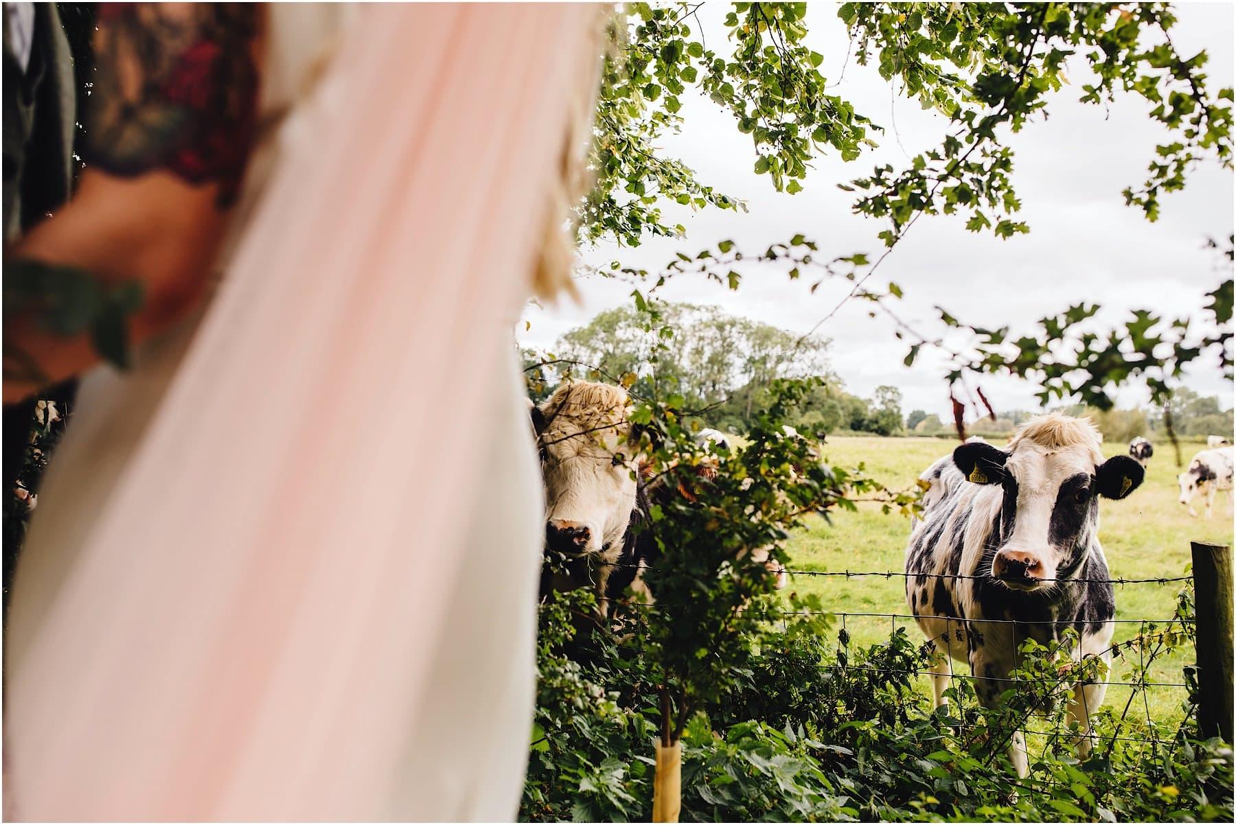 cows watching wedding couple
